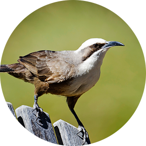 The grey-crowned babbler