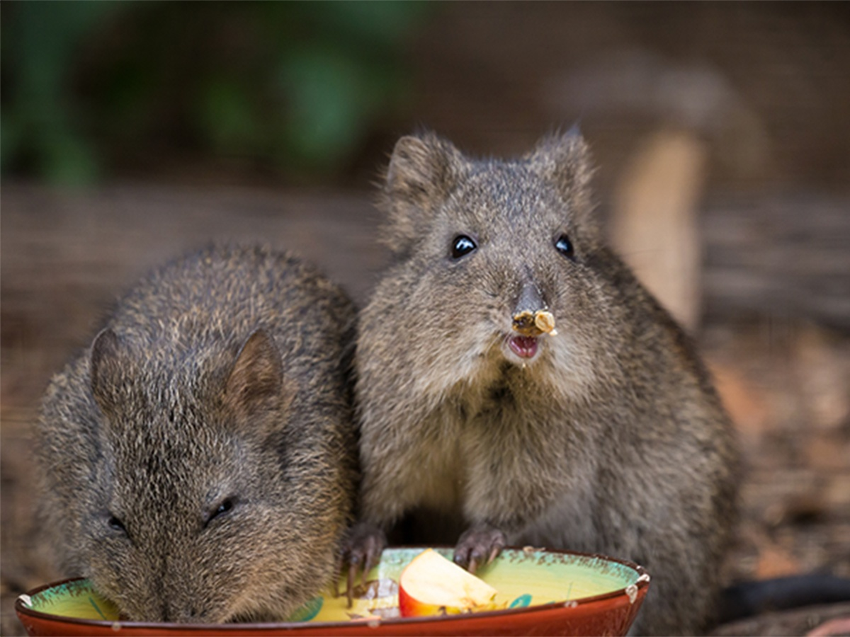 Potoroos were Sendle customers' clear winners of choice