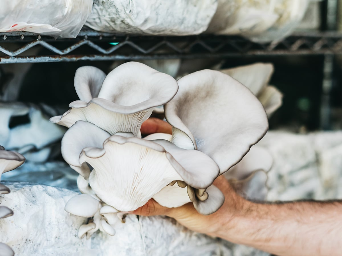 Life Cykel oyster mushroom harvest.