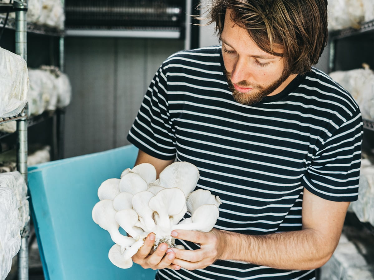 Julian Mitchell harvesting fresh oyster mushroom flowers.