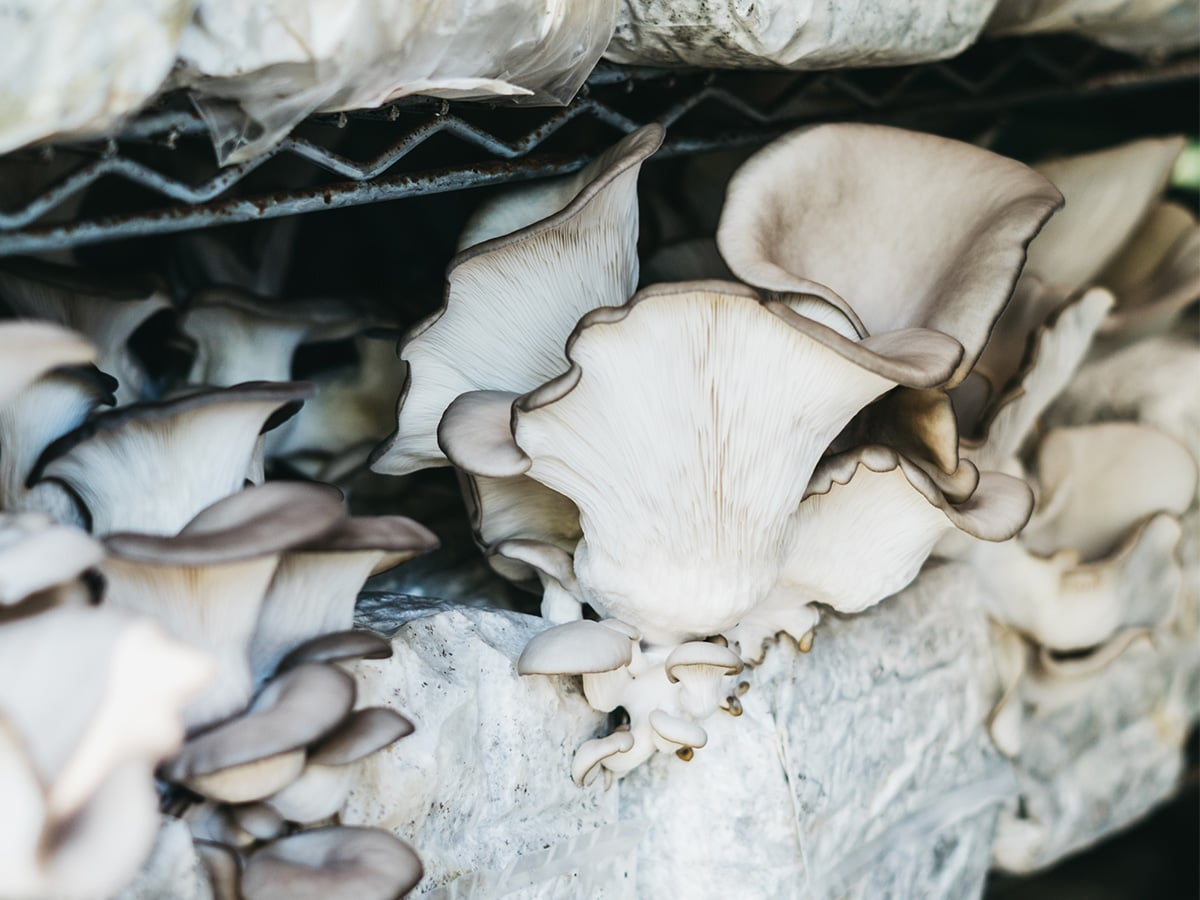 Life Cykel oyster mushroom production.